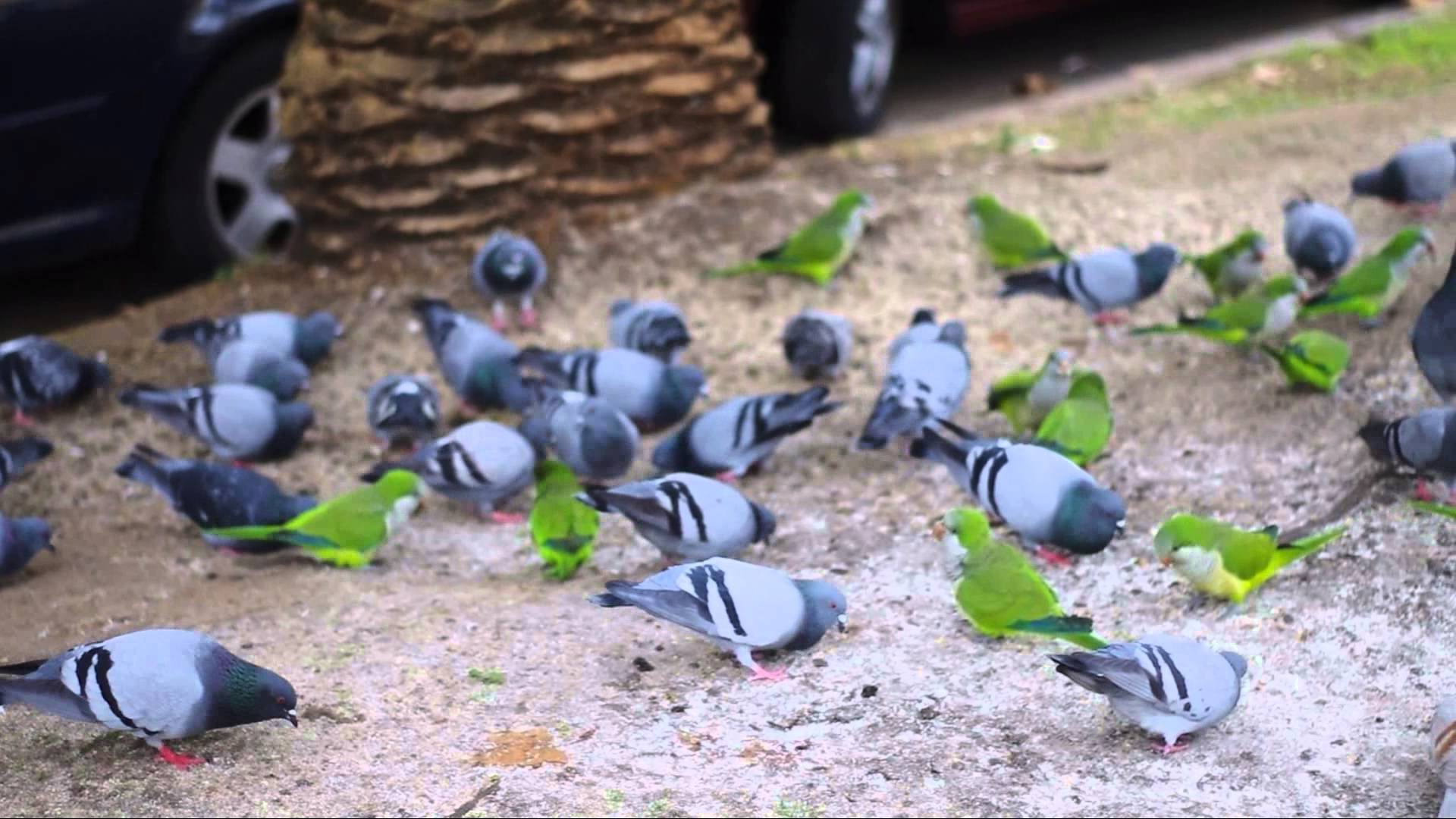 Barcelona Parrots and Pigeons | Visit Barcelona With Family